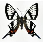 Chorinea sylphina