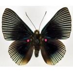 Lyropteryx apollonia