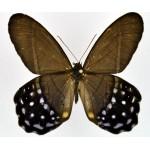 Pierella lena ssp