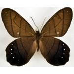Pierella astyoche ssp