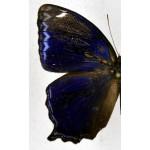 Ptychandra leucogyne