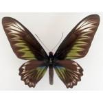 Trogonoptera brookiana FEM