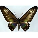 Trogonoptera trojana fem