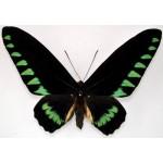 Trogonoptera trojana male