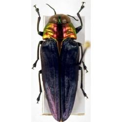 Belionota ssp