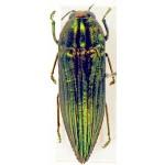 Buprestidae sp 70