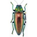 Buprestidae sp