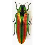 Chrysochroa baudoni