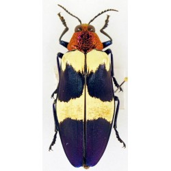 Chrysochroa buqueti rugicollis  negricus