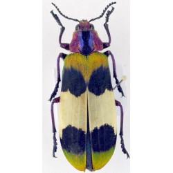 Chrysochroa corbetti 44mm