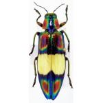Chrysochroa fulgens
