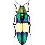 Chrysochroa maruyamai