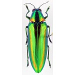 Chrysochroa rajah thailandica