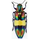 Chrysochroa toulgoeti