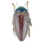 Sternocera hildebrandti