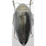 Sternocera klugii