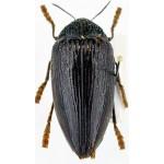 Sternocera orissa luctifera