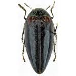 Sternocera orissa variabilis