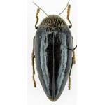 Sternocera orissa