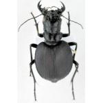 Manticora mygaloides fem