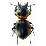 Mouhotia planipennis 45+