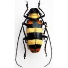 Жуки-усачи  рода Cerambycidae