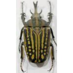 Chelorrhina bouyeri male 65+