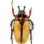 Dicheros bicornis florensis