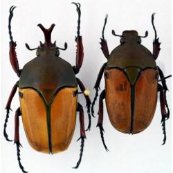 Eudicella smithi shiratica pair