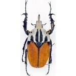 Mecynorhina oberthuri unicolor 58+ mm