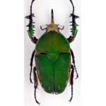 Mecynorhina torquata immaculicollis RARE 70+mm