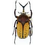 Megalorrhina harrisi peregrina ssp 55+ male