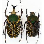 Megalorrhina harrisi peregrina 55+male