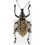Curculionidae sp13