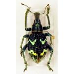 Curculionidae sp158