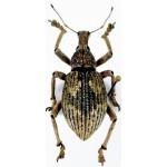Curculionidae sp20