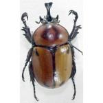 Brachysiderus quadrimaculatus 35+