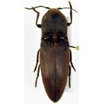 Elateridae sp 114