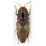 Elateridae sp 115