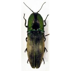 Chalcolepidius sp,