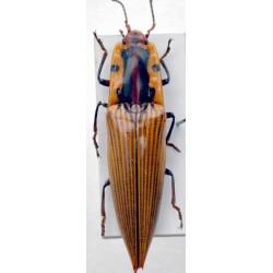 Semiotus imperialis