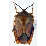 Hemiptera sp6