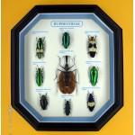 Набор жуков /buprestidae+mormolis/