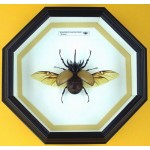 Eupatorus gracilicornis   012