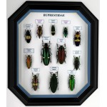 Набор жуков /buprestidae/