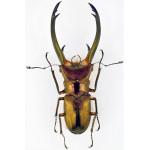 Cyclommatus elaphus 85+