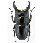 Dorcus eurycephalus