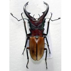 Cyclommatus alagarii 50+