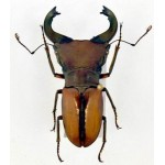 Cyclommatus pulchellus