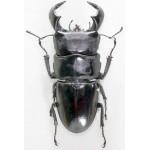 Dorcus bucephalus 60+
